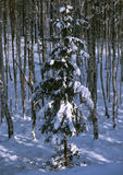 Spruce in winter birch forest Royalty Free Stock Photo