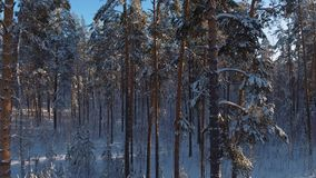 Spruce winter forest, clear winter weather: thin trunks of pine trees. Spruce winter forest in clear winter weather: thin trunks of pine trees, tall trees stock video