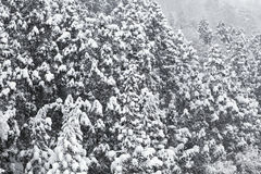 Spruce in winter. Spruce and Snow-Covered in winter Royalty Free Stock Photography