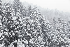 Spruce in winter. Spruce and Snow-Covered in winter Stock Image