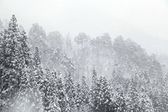 Spruce in winter. Spruce and Snow-Covered in winter Stock Photography