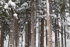 Spruce in winter. Spruce and Snow-Covered in winter Stock Photos