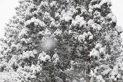 Spruce in winter. Spruce and Snow-Covered in winter Royalty Free Stock Image