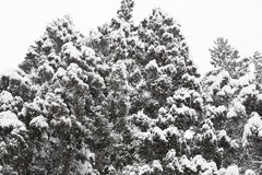 Spruce in winter. Spruce and Snow-Covered in winter Stock Photo