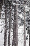 Spruce in winter. Spruce and Snow-Covered in winter Royalty Free Stock Photo