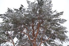 Spruce in winter. Spruce and Snow-Covered in winter Royalty Free Stock Images
