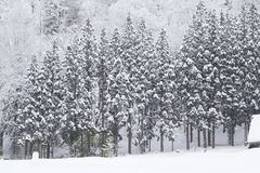 Spruce in winter. Spruce and Snow-Covered in winter Stock Images