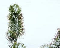 Spruce in Winter 6. Spruce up close on a cold snowy day Royalty Free Stock Photography