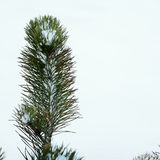 Spruce in Winter. Spruce up close on a cold snowy day Royalty Free Stock Images