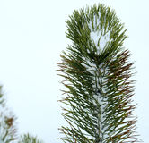 Spruce in Winter 3. Spruce up close on a cold snowy day Royalty Free Stock Images