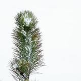 Spruce in Winter 4. Spruce up close on a cold snowy day Stock Image