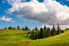 Spruce woodlot on a grassy hillside. Lovely nature scenery. blue sky with huge fluffy cloud Stock Image