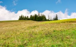 Spruce woodlot on top of a hill. Hillside with weathered grass in early autumn. massive cloud behind the scene. lovely nature background Royalty Free Stock Images