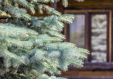 Spruce in the yard Stock Image