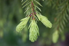 Spruce with young sprouts. Macro. Royalty Free Stock Photo