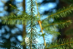 Spruce. Young spruce in winter morning with blue background, close up stock photography
