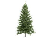 Spruce_(Picea) Stock Photos