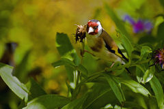 Spruced bird goldfinch Stock Images