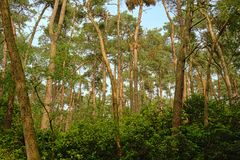 Spruceforest z bujny zieleni krzakami i bławym niebem, szczegół las w Flandryjskim fotografia stock