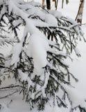 Sprucen förgrena sig i vinter Arkivfoto