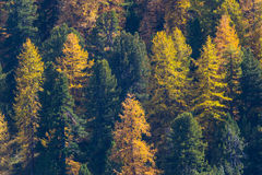 Spruces in autumn. Forest of spruces in autumn stock image