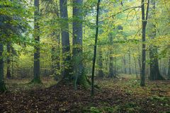 Spruces in autumnal forest. Misty autumnal day in old natural mixed forest Stock Photography