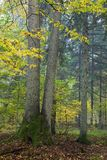 Spruces in autumnal forest Stock Image