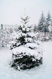Spruces - christmastree. Spruces in winter - countryside Poland Stock Image