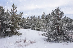 Spruces covered with hoarfrost and snow. Royalty Free Stock Image