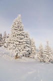 Spruces covered in snow Royalty Free Stock Photo