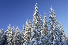 Spruces forest Royalty Free Stock Photos