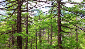 Spruces forest. Many spruces (a kind of evergreen tree) tree in the forest royalty free stock photography