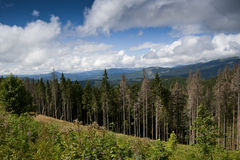 Spruces forest in the Carpathian mountains Stock Photos