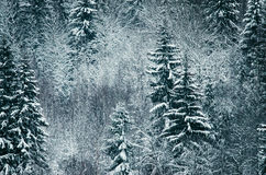 The spruces in hoarfrost Royalty Free Stock Photography