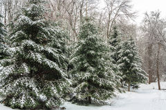 Spruces Stock Image