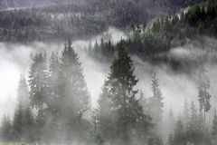 Spruces in the mist Stock Photo