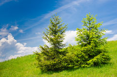 Spruces on montane pasture Stock Photography