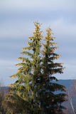 Spruces with nobs Royalty Free Stock Photography