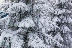 Spruces in snow, mountain Krkonose Royalty Free Stock Images