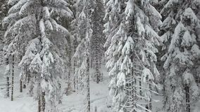 Spruces trees covered with snow after heavy snowfall. Snowy winter stock video footage