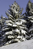 Spruces under snow Royalty Free Stock Photo