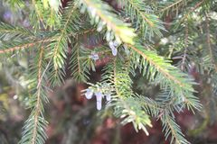 Spruces are used as food plants by the larvae of some Lepidoptera moth and butterfly species. A spruce is a tree of the genus Picea a genus of about 35 species Royalty Free Stock Photo