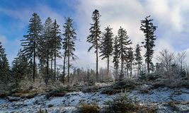 Spruces in winter time. Spruces in the winter season of the Beskidy mountains in Poland royalty free stock photo