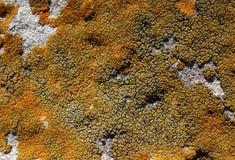 sprucken moss Royaltyfri Bild