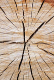 Sprucken tree Royaltyfri Fotografi