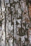 Sprucket blekt grått skäll av poppel med torr mossa Arkivbilder