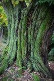 Sprucket skäll av det gamla trädet som är bevuxet med grön mossa i selektiv fokus för höstskog _ arkivfoton