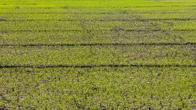 Spruckna gröna risplantor Royaltyfri Foto