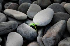 Spruit onder de stenen wordt gekweekt die royalty-vrije stock fotografie