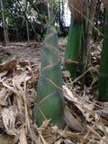 Spruit van Bamboe Stock Foto's